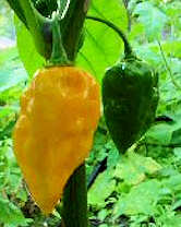 Habanero Devils TONGUE YELLOW